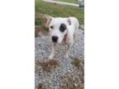 Adopt Left Eye a Pit Bull Terrier, Mixed Breed