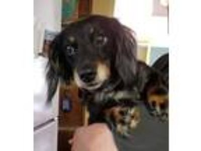 Adopt Max a Black - with Tan, Yellow or Fawn Dachshund dog in East Greenville