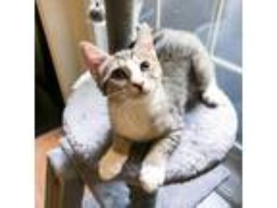 Adopt Becca a Domestic Short Hair