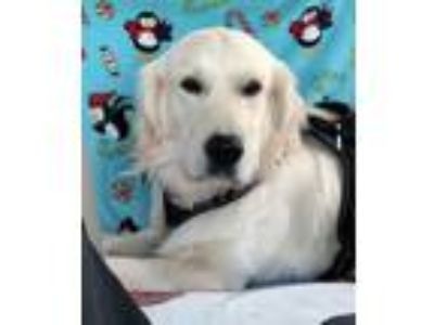 Adopt Max a Golden Retriever
