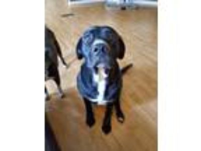 Adopt Abby a Black - with White Labrador Retriever / Mixed dog in Byron