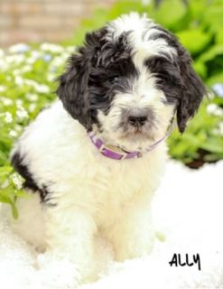 Ally Male F1B Bernedoodle