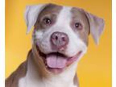 Adopt Taffy a Pit Bull Terrier, American Staffordshire Terrier