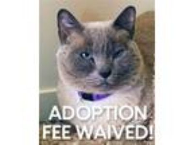 Adopt Dusty 228580 a Siamese