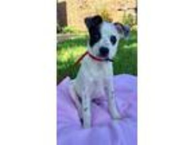 Adopt Biscuit a Cattle Dog, Terrier