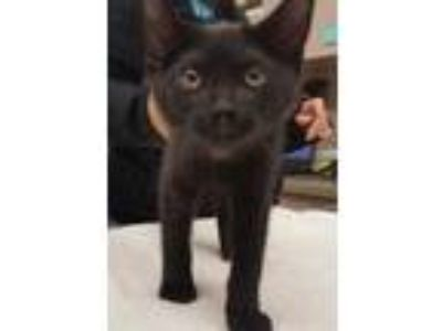Adopt Talulah a All Black Domestic Shorthair / Domestic Shorthair / Mixed cat in
