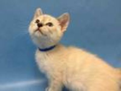Adopt Miles a Gray or Blue Domestic Shorthair / Siamese / Mixed cat in Golden