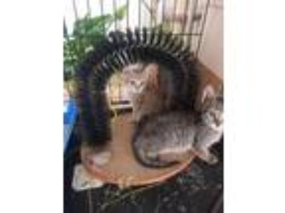 Adopt Pete Jr & James a Tabby, American Shorthair
