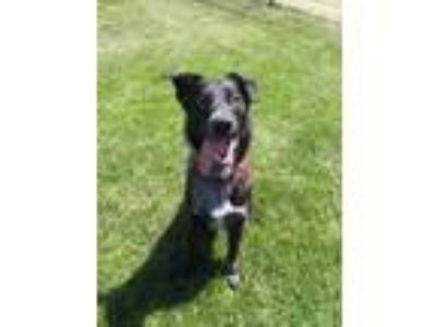 Adopt CARVER a Black Labrador Retriever / Mixed dog in Tangent, OR (25309623)