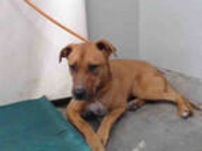Adopt *BANJO a Brown/Chocolate - with White American Pit Bull Terrier / Mixed