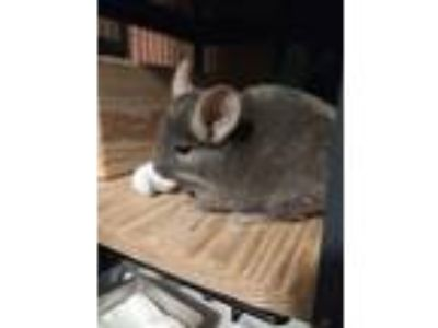 Adopt Coco Puff a Chinchilla small animal in Avondale, LA (25574502)
