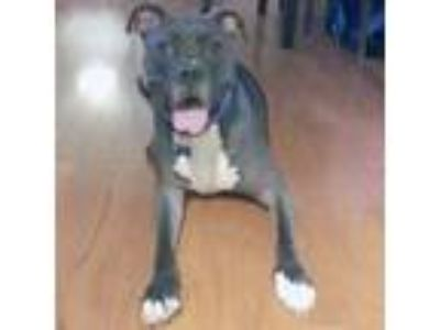 Adopt Sterling a Black American Pit Bull Terrier / Mixed dog in Washington