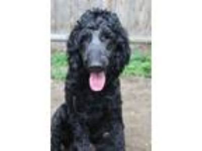 Adopt River in NH a Standard Poodle