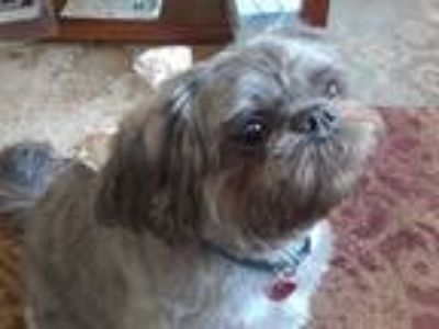 Adopt Lucy a Black - with Gray or Silver Shih Tzu / Mixed dog in Salem