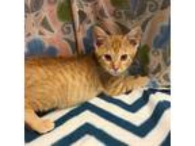 Adopt KOBE a Orange or Red Tabby Domestic Shorthair / Mixed (short coat) cat in
