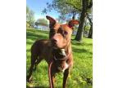 Adopt Somerset a Red/Golden/Orange/Chestnut Pit Bull Terrier / Mixed Breed