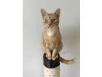 Adopt Leroy Jenkins a Domestic Short Hair