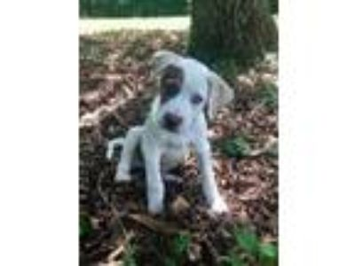 Adopt Knight a Great Pyrenees, Cattle Dog