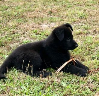 German Shepherd Dog PUPPY FOR SALE ADN-96847 - Farm and family friend protectors Working lineage