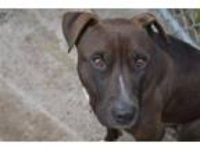 Adopt Tucker a Bull Terrier, Affenpinscher