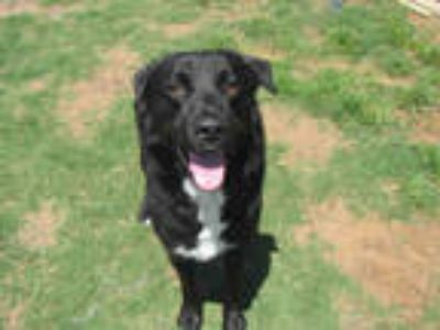 Adopt SOUL a Black - with White Border Collie / Mixed dog in Plano