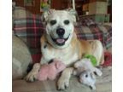 Adopt Nonie a German Shepherd Dog, Boxer