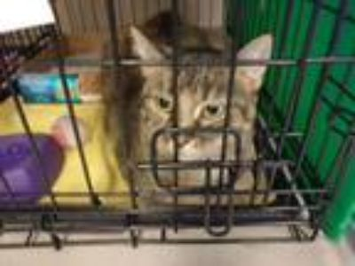 Adopt Clementine a Brown Tabby Domestic Shorthair (short coat) cat in Avon