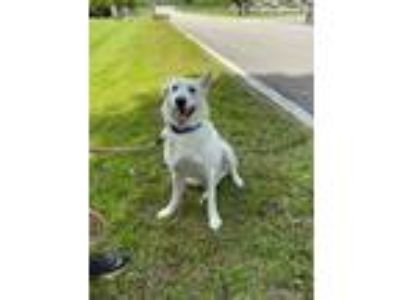 Adopt lobo a White Siberian Husky / German Shepherd Dog / Mixed dog in Jupiter
