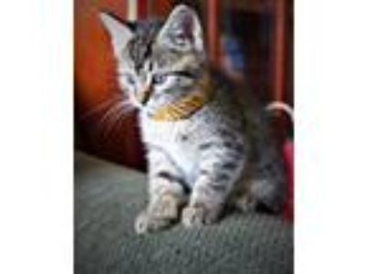 Adopt Wiley a Domestic Shorthair / Mixed cat in Vallejo, CA (25645219)