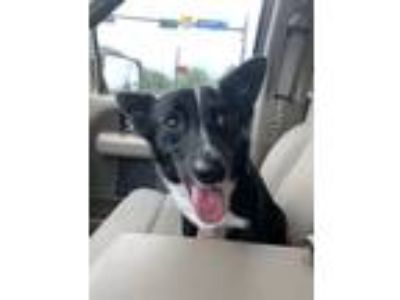 Adopt Burney **Local June 9th** a Corgi, Border Collie
