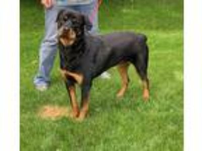 Adopt BELLA a Black Rottweiler / Mixed dog in Crystal Lake, IL (25555713)