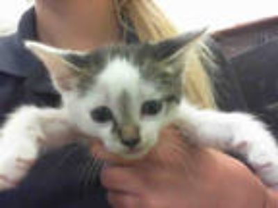 Adopt VENUS a White (Mostly) Domestic Shorthair / Mixed (short coat) cat in