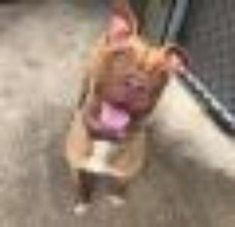 Draco Pit Bull Terrier Dog