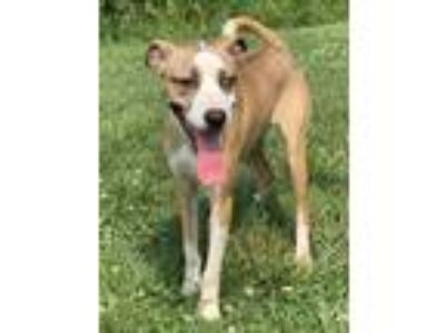 Adopt Elsa a Tan/Yellow/Fawn - with White Hound (Unknown Type) / Mixed dog in