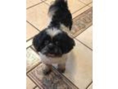 Adopt Betty Lou Boop a Shih Tzu / Mixed dog in Barrington, RI (25313662)