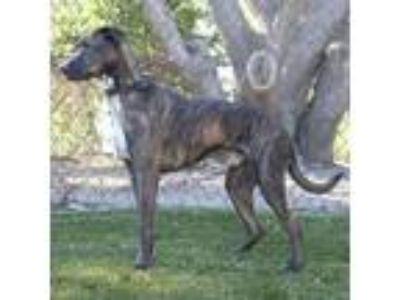 Adopt Hugo a Greyhound, Labrador Retriever