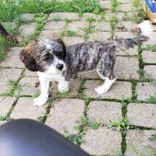 Cava-Tzu PUPPY FOR SALE ADN-95358 - CavaTzu male puppy needs a forever home