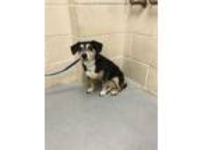 Adopt BELLA a Black - with Tan, Yellow or Fawn Jack Russell Terrier / Mixed dog