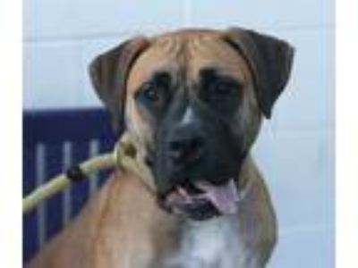 Adopt Brigette a Tan/Yellow/Fawn - with Black Mastiff / Mixed dog in Canoga