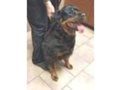 Adopt ZOEY a Black - with Tan, Yellow or Fawn Rottweiler / Mixed dog in Oswego