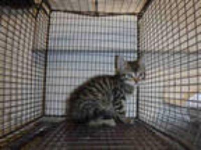 Adopt a Brown Tabby Domestic Shorthair / Mixed (short coat) cat in Long Beach