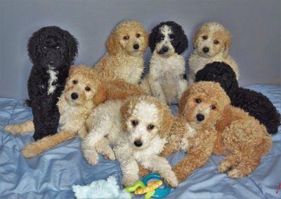 AKC Standard Poodle Puppies-Michigan
