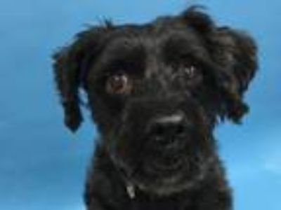 Adopt Annie a Yorkshire Terrier, Poodle