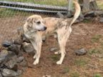 Adopt Muttley a Tan/Yellow/Fawn - with White English Setter / Labrador Retriever