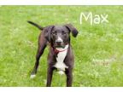 Adopt Max a Black Hound (Unknown Type) / Labrador Retriever dog in La Crosse