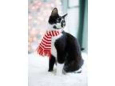 Adopt Tinkerbelle a American Shorthair