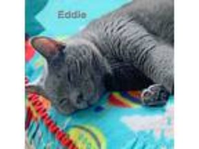 Adopt Eddie a Gray or Blue Domestic Shorthair (short coat) cat in Chicago