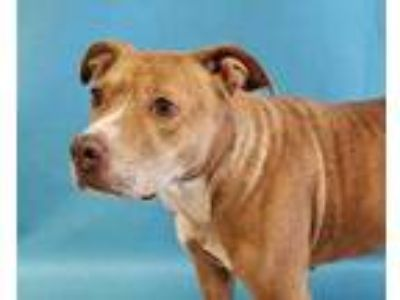 Adopt Sadie a Tan/Yellow/Fawn American Pit Bull Terrier / Mixed dog in St.