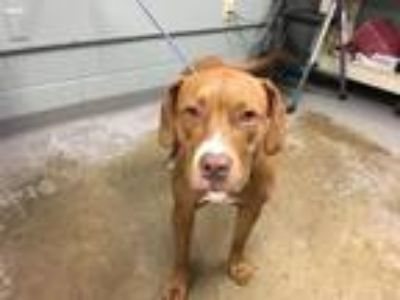 Adopt 41993701 a Hound, Mixed Breed