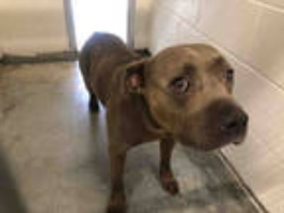 Adopt a Gray/Blue/Silver/Salt & Pepper American Pit Bull Terrier / Mixed dog in